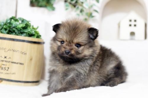 ポメラニアンの子犬(ID:1255411311)の3枚目の写真/更新日:2018-12-03