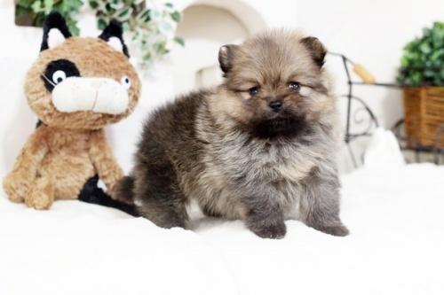 ポメラニアンの子犬(ID:1255411312)の1枚目の写真/更新日:2018-12-03