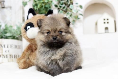 ポメラニアンの子犬(ID:1255411312)の2枚目の写真/更新日:2018-12-03