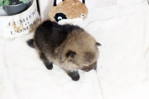 ポメラニアンの子犬(ID:1255411312)の3枚目の写真/更新日:2018-12-03