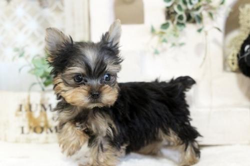 ヨークシャーテリアの子犬(ID:1255411313)の1枚目の写真/更新日:2021-02-01