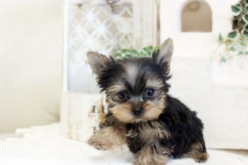 ヨークシャーテリアの子犬(ID:1255411313)の2枚目の写真/更新日:2021-02-01