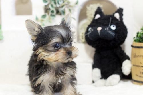 ヨークシャーテリアの子犬(ID:1255411313)の3枚目の写真/更新日:2021-02-01