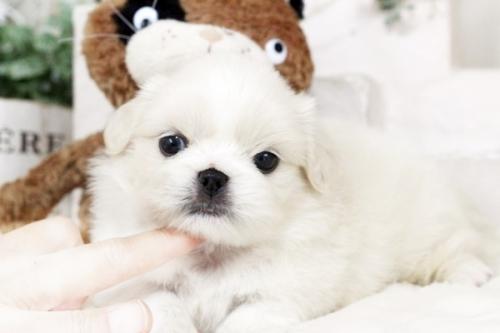 ペキニーズの子犬(ID:1255411320)の1枚目の写真/更新日:2018-11-28