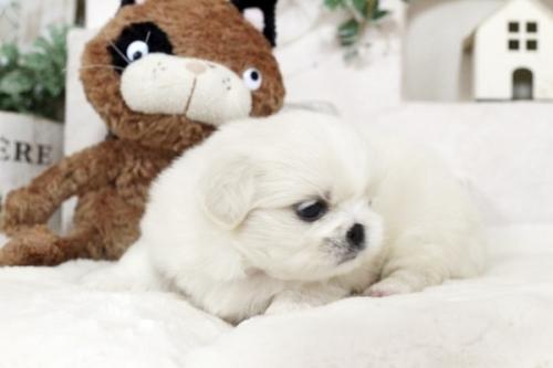 ペキニーズの子犬(ID:1255411320)の2枚目の写真/更新日:2018-11-28