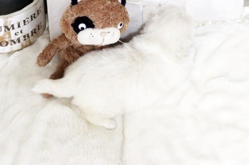 ペキニーズの子犬(ID:1255411320)の3枚目の写真/更新日:2018-11-28