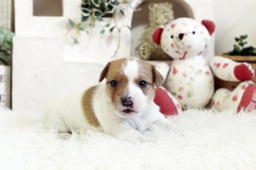ジャックラッセルテリアの子犬(ID:1255411334)の1枚目の写真/更新日:2019-05-02