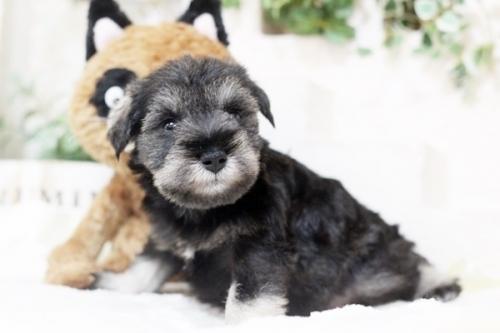 ミニチュアシュナウザーの子犬(ID:1255411335)の1枚目の写真/更新日:2018-07-10