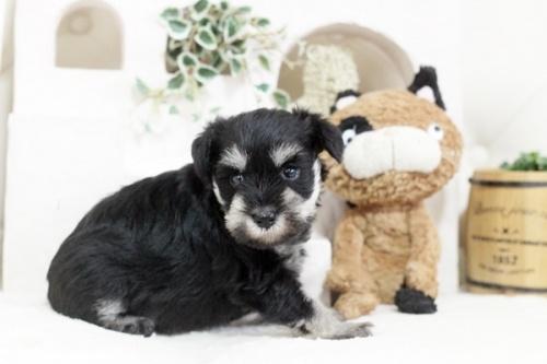 ミニチュアシュナウザーの子犬(ID:1255411336)の2枚目の写真/更新日:2018-07-10