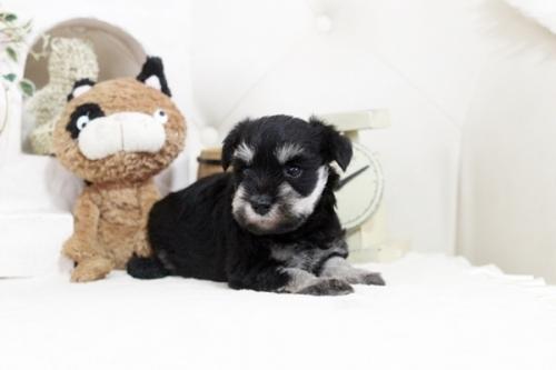 ミニチュアシュナウザーの子犬(ID:1255411336)の3枚目の写真/更新日:2018-07-10