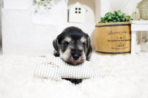 ミニチュアシュナウザーの子犬(ID:1255411337)の1枚目の写真/更新日:2018-07-10