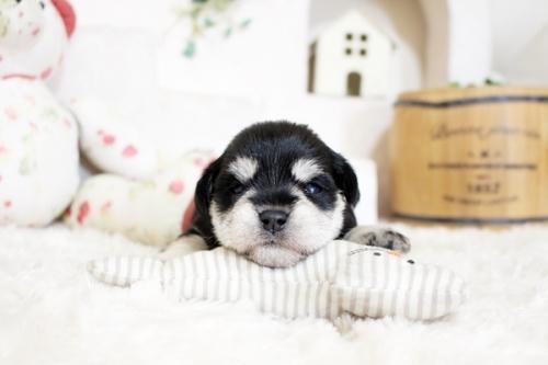 ミニチュアシュナウザーの子犬(ID:1255411338)の1枚目の写真/更新日:2018-07-10