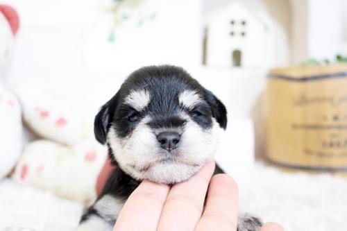 ミニチュアシュナウザーの子犬(ID:1255411338)の2枚目の写真/更新日:2018-07-10