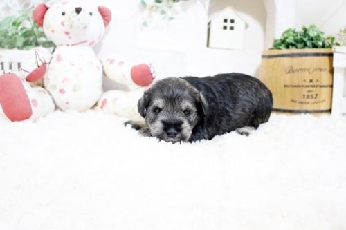 ミニチュアシュナウザーの子犬(ID:1255411341)の3枚目の写真/更新日:2021-10-05