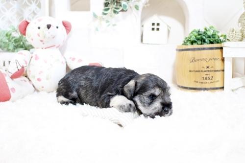 ミニチュアシュナウザーの子犬(ID:1255411341)の4枚目の写真/更新日:2021-10-05