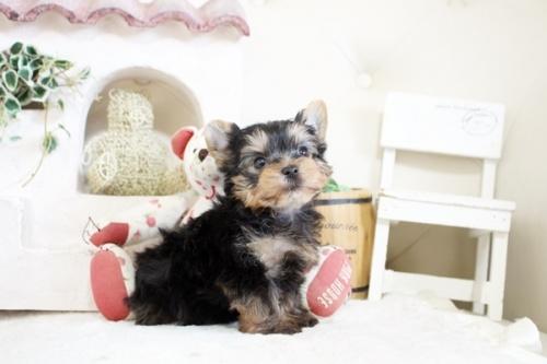 ヨークシャーテリアの子犬(ID:1255411342)の2枚目の写真/更新日:2021-04-02
