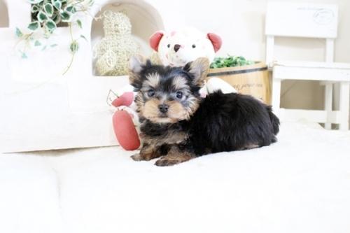 ヨークシャーテリアの子犬(ID:1255411342)の3枚目の写真/更新日:2021-04-02
