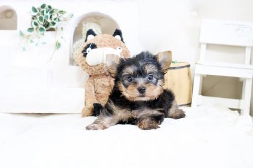 ヨークシャーテリアの子犬(ID:1255411343)の1枚目の写真/更新日:2021-04-02