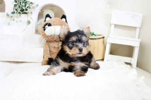 ヨークシャーテリアの子犬(ID:1255411343)の2枚目の写真/更新日:2021-04-02