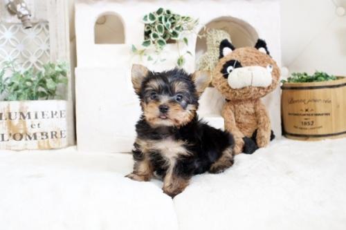 ヨークシャーテリアの子犬(ID:1255411343)の3枚目の写真/更新日:2021-04-02