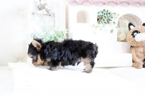 ヨークシャーテリアの子犬(ID:1255411343)の4枚目の写真/更新日:2021-04-02