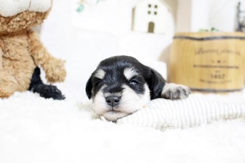 ミニチュアシュナウザーの子犬(ID:1255411352)の1枚目の写真/更新日:2018-11-23