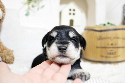 ミニチュアシュナウザーの子犬(ID:1255411352)の2枚目の写真/更新日:2018-11-23