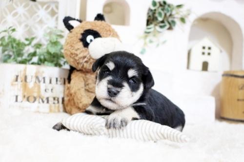 ミニチュアシュナウザーの子犬(ID:1255411352)の3枚目の写真/更新日:2018-11-23
