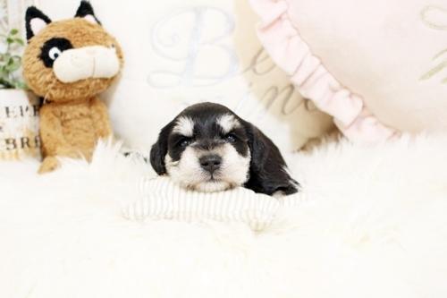 ミニチュアシュナウザーの子犬(ID:1255411353)の1枚目の写真/更新日:2018-11-23