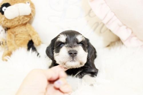 ミニチュアシュナウザーの子犬(ID:1255411353)の2枚目の写真/更新日:2018-11-23
