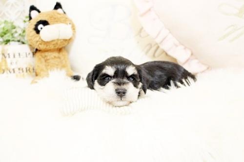ミニチュアシュナウザーの子犬(ID:1255411353)の3枚目の写真/更新日:2018-11-23