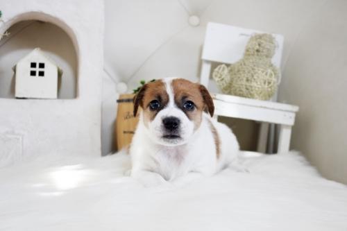 ジャックラッセルテリアの子犬(ID:1255411360)の2枚目の写真/更新日:2019-05-02
