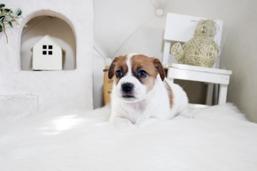 ジャックラッセルテリアの子犬(ID:1255411360)の3枚目の写真/更新日:2019-05-02