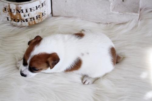 ジャックラッセルテリアの子犬(ID:1255411360)の4枚目の写真/更新日:2019-05-02