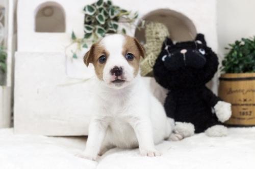 ジャックラッセルテリアの子犬(ID:1255411361)の1枚目の写真/更新日:2019-05-02