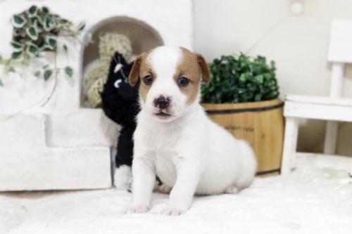 ジャックラッセルテリアの子犬(ID:1255411361)の2枚目の写真/更新日:2019-05-02