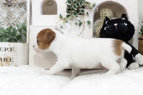 ジャックラッセルテリアの子犬(ID:1255411361)の3枚目の写真/更新日:2019-05-02