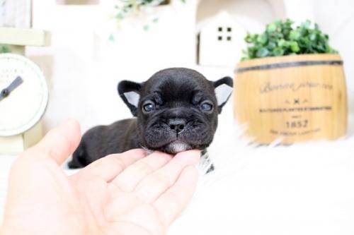 フレンチブルドッグの子犬(ID:1255411364)の2枚目の写真/更新日:2021-08-09