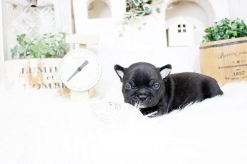 フレンチブルドッグの子犬(ID:1255411364)の3枚目の写真/更新日:2021-08-09