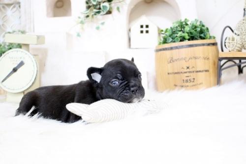 フレンチブルドッグの子犬(ID:1255411364)の4枚目の写真/更新日:2021-08-09