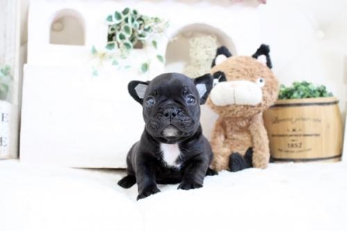 フレンチブルドッグの子犬(ID:1255411365)の2枚目の写真/更新日:2019-05-27