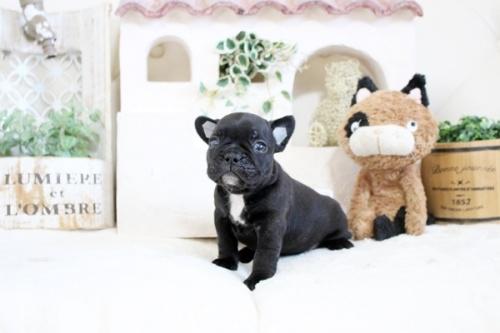 フレンチブルドッグの子犬(ID:1255411365)の3枚目の写真/更新日:2019-05-27