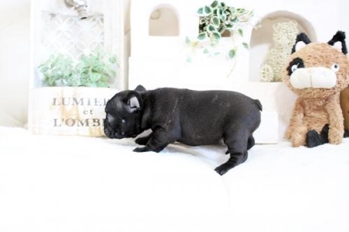 フレンチブルドッグの子犬(ID:1255411365)の4枚目の写真/更新日:2019-05-27
