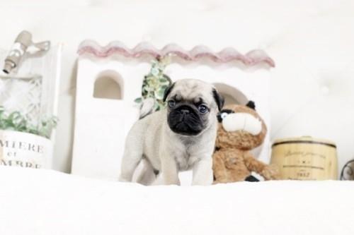パグの子犬(ID:1255411366)の1枚目の写真/更新日:2019-02-24