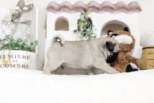 パグの子犬(ID:1255411366)の3枚目の写真/更新日:2020-05-23