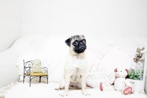 パグの子犬(ID:1255411367)の1枚目の写真/更新日:2020-05-23