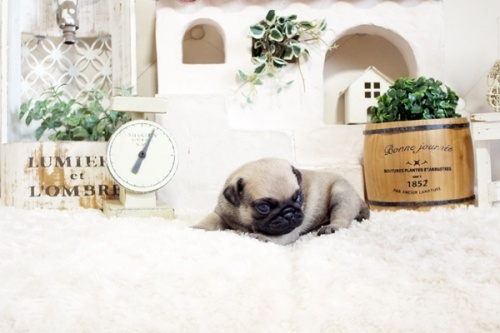 パグの子犬(ID:1255411367)の3枚目の写真/更新日:2019-10-23