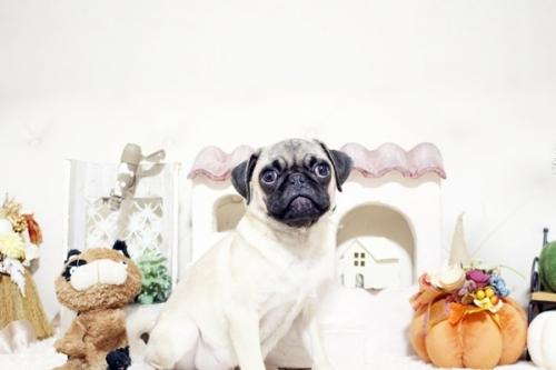 パグの子犬(ID:1255411368)の1枚目の写真/更新日:2019-10-23