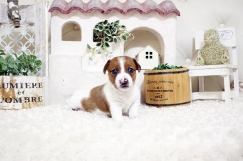 ジャックラッセルテリアの子犬(ID:1255411369)の1枚目の写真/更新日:2019-05-02