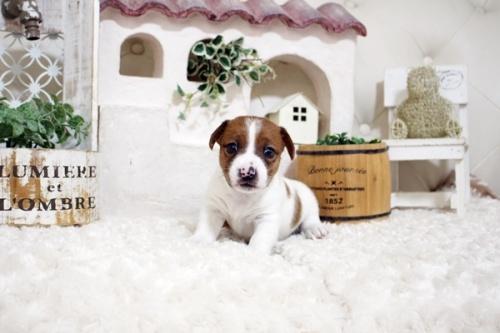 ジャックラッセルテリアの子犬(ID:1255411369)の2枚目の写真/更新日:2019-05-02